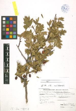 ( - LE-Za-09-8)  @11 [ ] CreativeCommons - Attribution Non-Commercial No Derivatives (2012) Roman Ufimov Komarov Botanical Institute, RAS