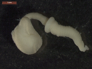 "(Pomphorhynchus patagonicus - CRUB UNCOPA AC LS PAT 0028)  @14 [ ] Copyright (2013) MACN Museo Argentino de Ciencias Naturales ""Bernardino Rivadavia"""