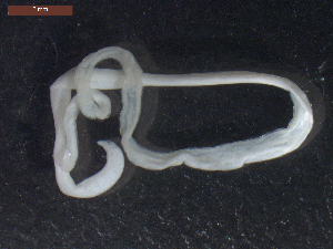 "(Raphidascaridinae - CRUB UNCOPA NEM LS PAT 0091)  @11 [ ] Copyright (2013) MACN Museo Argentino de Ciencias Naturales ""Bernardino Rivadavia"""