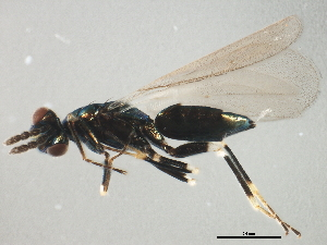 (Eulophinae - HYMC03835-1)  @14 [ ] CreativeCommons - Attribution Non-Commercial Share-Alike (2011) BIO Photography Group Biodiversity Institute of Ontario