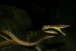 (Oxybelis - VD009)  @11 [ ] Copyright (2011) CORBIDI Centro de Ornitologia y Biodiversidad