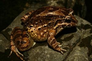 (Leptodactylus labrosus - VD034)  @11 [ ] Copyright (2011) CORBIDI Centro de Ornitologia y Biodiversidad