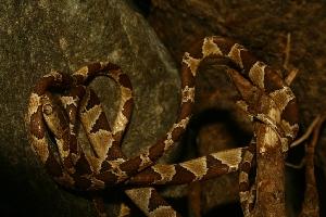(Imantodes - VD114)  @11 [ ] Copyright (2011) CORBIDI Centro de Ornitologia y Biodiversidad