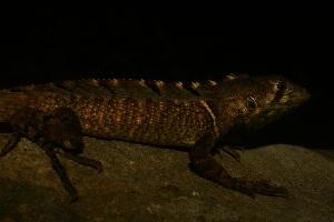 (Stenocercus - VD125)  @11 [ ] Copyright (2011) CORBIDI Centro de Ornitologia y Biodiversidad