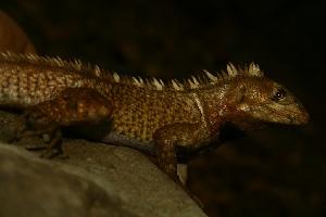 (Stenocercus - VD128)  @11 [ ] Copyright (2011) CORBIDI Centro de Ornitologia y Biodiversidad