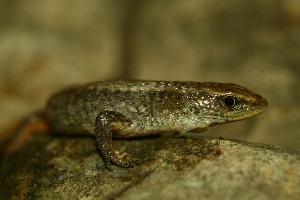(Alopoglossidae - VD133)  @11 [ ] Copyright (2011) CORBIDI Centro de Ornitologia y Biodiversidad