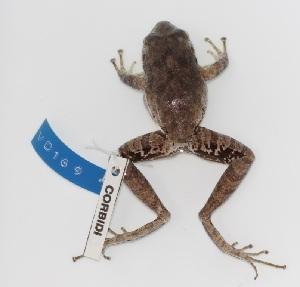 (Pristimantis lymani - VD169)  @11 [ ] Copyright (2011) CORBIDI Centro de Ornitologia y Biodiversidad