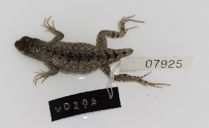 (Microlophus - VD206)  @11 [ ] Copyright (2011) CORBIDI Centro de Ornitologia y Biodiversidad