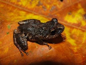 (Pristimantis ventrimarmoratus - YC-1)  @11 [ ] Copyright (2011) CORBIDI Centro de Ornitologia y Biodiversidad