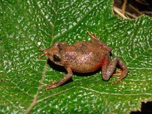 (Gastrotheca griswoldi - YC-131)  @11 [ ] Copyright (2011) CORBIDI Centro de Ornitologia y Biodiversidad