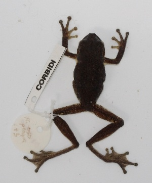 (Pristimantis stictogaster - YC-212)  @11 [ ] Copyright (2011) CORBIDI Centro de Ornitologia y Biodiversidad