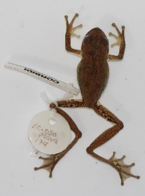 (Pristimantis stictogaster - YC-213)  @11 [ ] Copyright (2011) CORBIDI Centro de Ornitologia y Biodiversidad