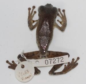 (Cercosaura argulus - YC-66)  @11 [ ] Copyright (2011) CORBIDI Centro de Ornitologia y Biodiversidad