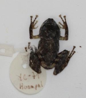 (Enyalioides - YC-76)  @11 [ ] Copyright (2011) CORBIDI Centro de Ornitologia y Biodiversidad