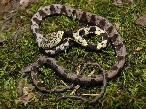 (Pristimantis carvalhoi - YC-84)  @11 [ ] Copyright (2011) CORBIDI Centro de Ornitologia y Biodiversidad