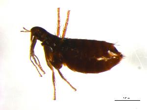 (Monopsyllus - 10AVB-PAR0045)  @13 [ ] CreativeCommons - Attribution (2010) Crystal Sobel, Biodiversity Institute of Ontario Unspecified