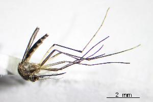 (Aedes angustivittatus - CUL_0059)  @14 [ ] CreativeCommons - Attribution (2013) Rahuel Chan Instituto Tecnologico de Chetumal