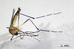 (Aedes cozumelensis - CUL_0070)  @14 [ ] CreativeCommons - Attribution (2013) Rahuel Chan Instituto Tecnologico de Chetumal
