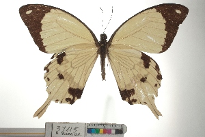 (Papilio dardanus - Samp_001)  @11 [ ] CreativeCommons - Attribution (2015) Unspecified Research Center in Biodiversity and Genetic Resources (CIBIO)
