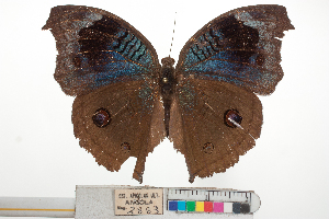 (Junonia artaxia - Samp_032)  @11 [ ] by - Creative Commons - Attribution (2015) Unspecified Research Center in Biodiversity and Genetic Resources (CIBIO)