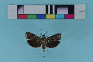 (Phycodes - KFBG-LepDNA-00009)  @13 [ ] Copyright (2011) Dr. Pankaj Kumar KFBG