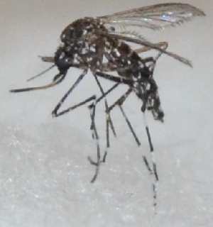(Aedes cogilli - BM33)  @11 [ ] C (2016) PHCDBS Paul Hebert Centre For DNA Barcoding and Biodiversity Studie