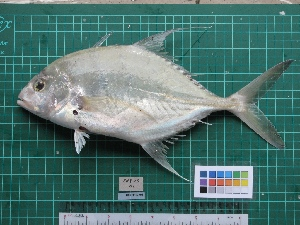 (Carangoides - DBMF-M656)  @15 [ ] Unspecified (default): All Rights Reserved  Unspecified Unspecified