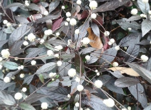 (Alternanthera - MP3943)  @11 [ ] C (2015) PHCDBS Paul Hebert Centre For DNA Barcoding And Biodiversity Studies