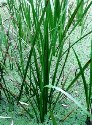 (Acorus calamus - MP3931)  @11 [ ] C (2015) PHCDBS Paul Hebert Centre For DNA Barcoding And Biodiversity Studies