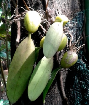 (Bulbophyllum - MP3911)  @11 [ ] C (2015) PHCDBS Paul Hebert Centre For DNA Barcoding And Biodiversity Studies