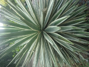 (Agave angustifolia - AP5.1)  @11 [ ] Copyright (2014) PHCDBS Paul Hebert Centre For DNA Barcoding And Biodiversity Studies