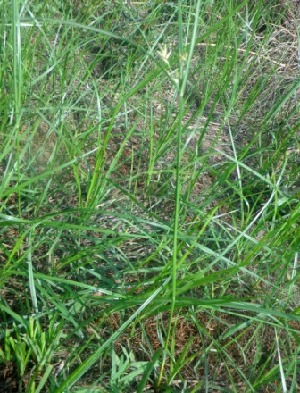 (Cyperus - MP3987)  @11 [ ] C (2015) PHCDBS Paul Hebert Centre For DNA Barcoding And Biodiversity Studies