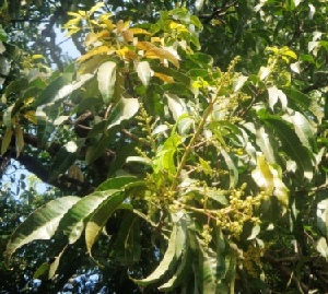 (Mangifera indica - MP3994)  @11 [ ] C (2015) PHCDBS Paul Hebert Centre For DNA Barcoding And Biodiversity Studies