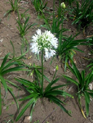 (Artemisia roxburghiana - MP4183)  @11 [ ] C (2015) PHCDBS Paul Hebert Centre For DNA Barcoding And Biodiversity Studies