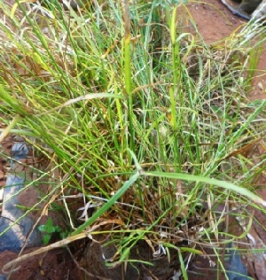 (Cyperus - MP4558)  @11 [ ] C (2015) PHCDBS Paul Hebert Centre For DNA Barcoding And Biodiversity Studies