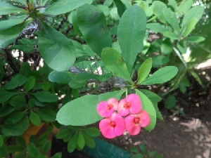 (Euphorbia splendens - MP1120)  @11 [ ] Copyright (2013) PHCDBS Paul Hebert Centre for DNA Barcoding and Biodiversity Studies