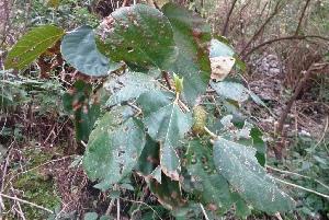 (Ficus sycomorus - MP5286)  @11 [ ] Copyright (2015) G D Khedkar Paul Hebert Centre For DNA Barcoding And Biodiversity Studies