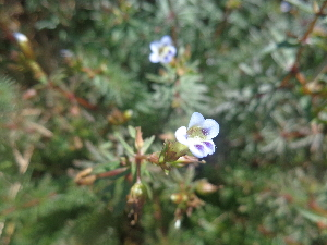 (Limnophila - MP1961)  @11 [ ] Copyright (2014) PHCDBS Paul Hebert Centre For DNA Barcoding And Biodiversity Studies