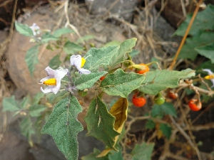 (Solanum anguivi - MP2091)  @11 [ ] Copyright (2014) G.D. Khedkar Paul Hebert Centre For DNA Barcoding And Biodiversity Studies