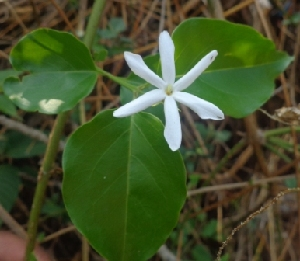 (Jasminum nervosum - MP2211)  @11 [ ] C (2014) PHCDB Paul Hebert Centre For DNA Barcoding And Biodiversity Studies