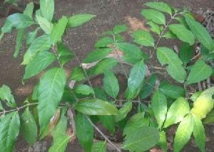 (Malpighiaceae - MP2291)  @11 [ ] C (2014) PHCDB Paul Hebert Centre For DNA Barcoding And Biodiversity Studies
