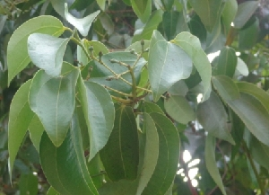 (Cinnamomum tamala - MP2335)  @11 [ ] C (2014) PHCDB Paul Hebert Centre For DNA Barcoding And Biodiversity Studies
