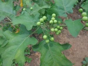 (Solanum torvum - MP2389)  @11 [ ] C (2014) PHCDB Paul Hebert Centre For DNA Barcoding And Biodiversity Studies