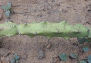 (Euphorbia antiquorum - MP2391)  @11 [ ] C (2014) PHCDB Paul Hebert Centre For DNA Barcoding And Biodiversity Studies