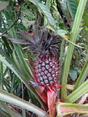 (Ananas - MP2433)  @11 [ ] C (2014) PHCDB Paul Hebert Centre For DNA Barcoding And Biodiversity Studies