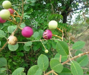 (Capparis tomentosa - MP3294)  @11 [ ] C (2014) PHCDBS Paul Hebert Centre For DNA Barcoding And Biodiversity Studies