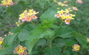 (Lantana camara - MP3412)  @11 [ ] C (2014) PHCDBS Paul Hebert Centre For DNA Barcoding And Biodiversity Studies