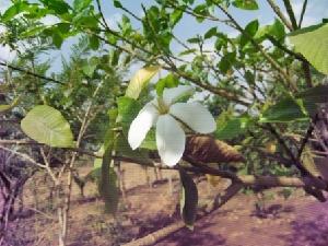 (Gardenia - BU263)  @11 [ ] Copyright (2014) PHCDBS Paul Hebert Centre For DNA Barcoding And Biodiversity Studies