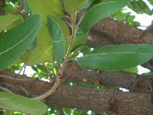 (Buchanania lanzan - MP201)  @11 [ ] Copyright (2013) PHCDBS Paul Hebert Centre for DNA Barcoding and Biodiversity Studies