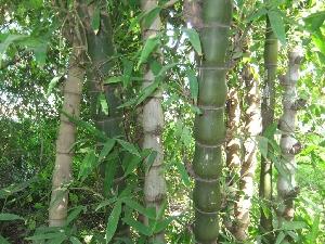(Bambusa ventricosa - MP323.1)  @11 [ ] Copyright (2014) G D Khedkar Paul Hebert Centre For DNA Barcoding And Biodiversity Studies
